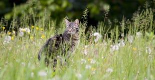 Tabby kot w dandelion i trawie obrazy royalty free