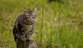 Tabby kot w trawie zdjęcia stock