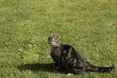 Tabby kot Z jęzorem Out Zdjęcia Royalty Free