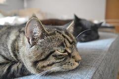 Tabby kot zaczyna spadać uśpiony Fotografia Royalty Free