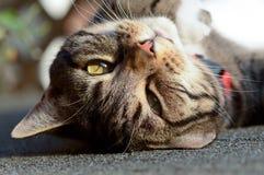 Tabby kota do góry nogami portret Obraz Royalty Free