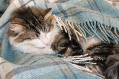 Tabby kota dosypianie w bławej tartan wełny koc fotografia royalty free