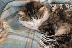 Tabby kota dosypianie w w górę bławej wełny koc zdjęcia stock
