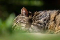Tabby kota dosypianie W ogródzie Zdjęcia Royalty Free