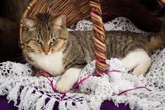 Tabby kota lying on the beach w koszu z białą przesłoną Purpurowy tło zdjęcia stock