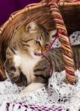Tabby kota lying on the beach w koszu z białą przesłoną Purpurowy tło obraz royalty free