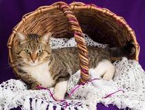Tabby kota lying on the beach w koszu z białą przesłoną Purpurowy tło zdjęcia royalty free