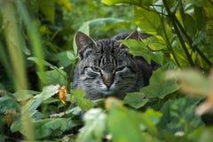 Tabby kota odpoczywać siedzi w ulistnieniu Zdjęcie Stock