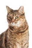 Tabby kota zbliżenia ucho Przechylający Obrazy Stock