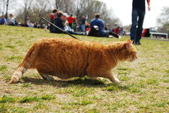 Tabby On Leash Stalks Unseen Prey Stock Image