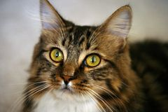Tabby śliczny kot fotografia stock