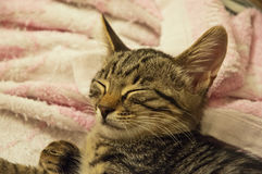 Tabby little cat sleep Stock Photos