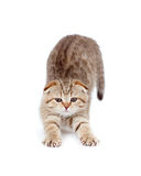 Tabby little kitten stretches isolated Stock Images