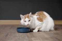 Tabby longhair cat sit around the food bowl and wait ffor food. Tabby longhair cat sit around the food bowl and wait for the meal Royalty Free Stock Image
