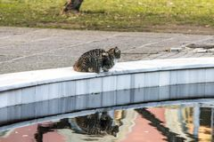 A tabby mackarel long fur cat sits by a pool with reflection. stock photo