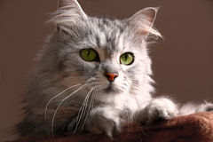 Tabby Maine Coon Cat Royalty Free Stock Photos