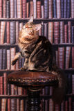 Tabby Maine Coon cat. Brown Tabby Maine Coon cat in library Royalty Free Stock Images