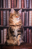 Tabby Maine Coon cat. Brown Tabby Maine Coon cat in library Stock Images