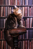 Tabby Maine Coon cat. Brown Tabby Maine Coon cat in library stock photos