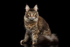 Tabby Maine Coon Cat Sitting Isolated auf schwarzem Hintergrund Stockfoto