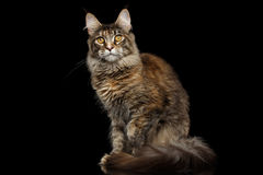 Tabby Maine Coon Cat Sitting Isolated su fondo nero Fotografie Stock