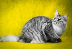 Tabby maine coon cat on yellow  background Royalty Free Stock Image