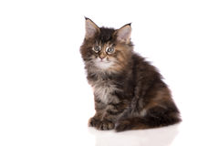 Tabby maine coon kitten Stock Photography