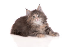 Tabby maine coon kitten Royalty Free Stock Image
