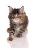 Tabby maine coon kitten Stock Photo