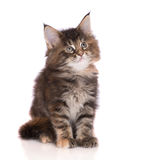 Tabby maine coon kitten Stock Images