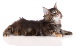 Tabby maine coon kitten lying down Royalty Free Stock Images