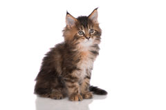 Tabby maine coon kitten sitting on white Royalty Free Stock Photography