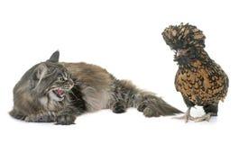 Tabby Maine kurczak i coon Zdjęcie Stock