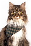 Tabby mainecoon cat. Tabby mainecoon  wearing a green scarf standing on a white background Royalty Free Stock Photography