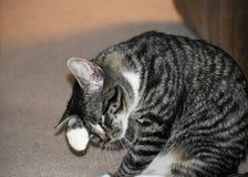 Tabby Manx Kitten Stockfotografie
