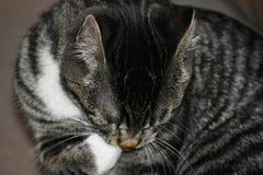 Tabby Manx Kitten Lizenzfreie Stockbilder