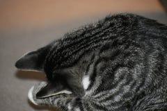 Tabby Manx Kitten Lizenzfreies Stockfoto
