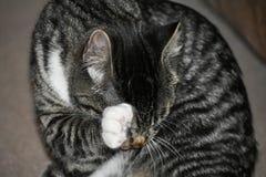 Tabby Manx Kitten stock photo