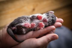 Tabby newborn kitten sleeping in woman hands royalty free stock photography