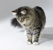 Tabby Norwegian Forest cat Stock Images