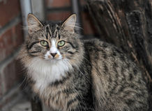Tabby Norwegian Forest cat Royalty Free Stock Image