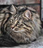 Tabby Norwegian Forest cat Stock Image