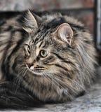 Tabby Norwegian Forest cat Stock Image
