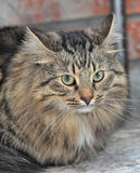 Tabby Norwegian Forest cat Stock Photos