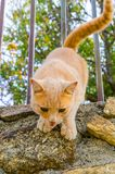 Ginger cat jumping from a fence. Tabby orange cat about to jump from the fence royalty free stock photo