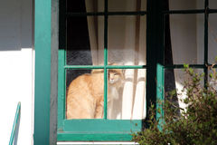 Tabby Orange Cat in a window gazing out. Tabby Orange Cat in a window with green painting between the window panes Stock Photo