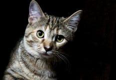 Tabby Pet Royaltyfria Bilder