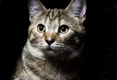 Tabby Pet Royaltyfri Fotografi