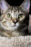 Tabby Pet Royaltyfri Foto