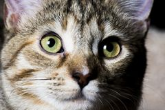 Tabby Pet Arkivfoton